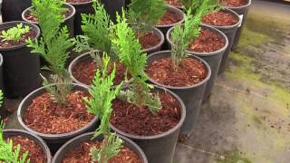 We're Going to Grow a Privacy Hedge of Thuja Green Giant Arborvitae!