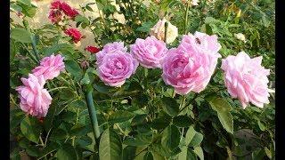 Gambar cover Inilah 6 Cara Merawat Bunga Mawar Agar Cepat Berbunga Lebat