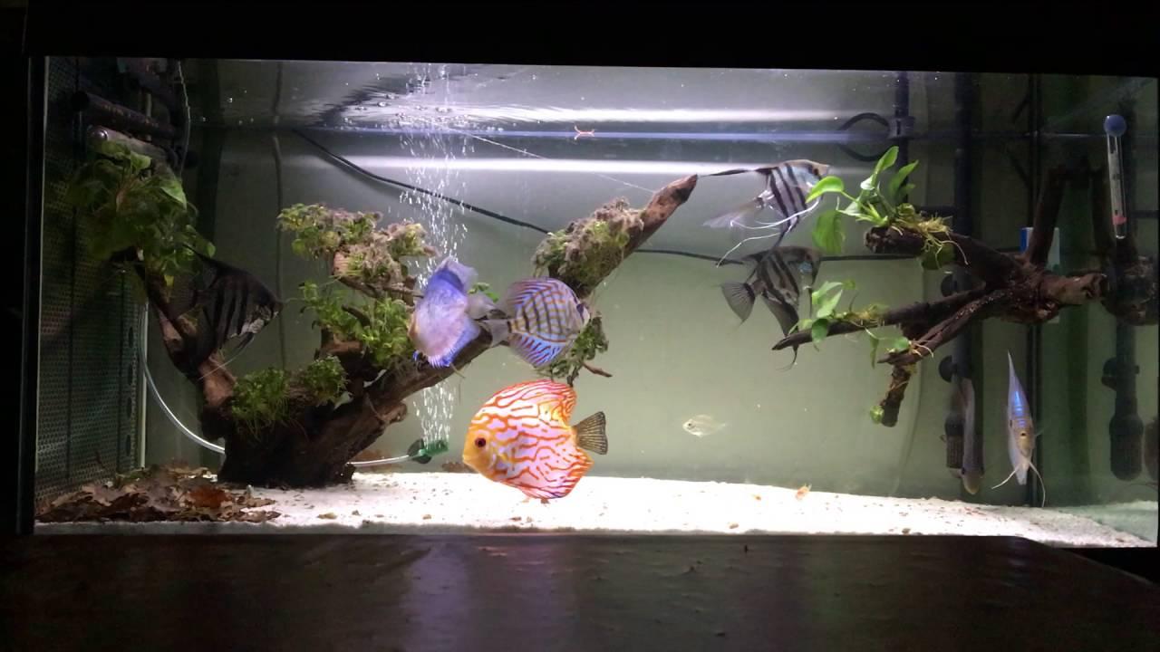Acquario discus e deposizione uova di una coppia di for Pesci con la e