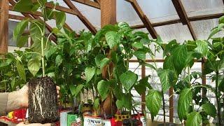 Как посадить перец /Чем заправить лунки/Какая должна быть рассада при высадке в теплицу?