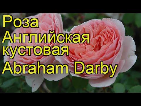 Роза английская кустовая Абрахам Дэрби. Краткий обзор, описание характеристик Abraham Darby