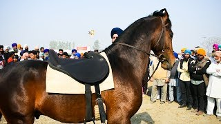 Best Marwari Horse from Punjab interview with Dr Keval Arora