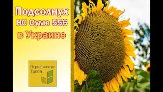Подсолнух НС Сумо 556 в Украине