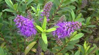 HEBE: Hebe x andersonii (http://riomoros.blogspot.com)