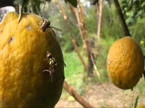 how to identify queensland fruit fly
