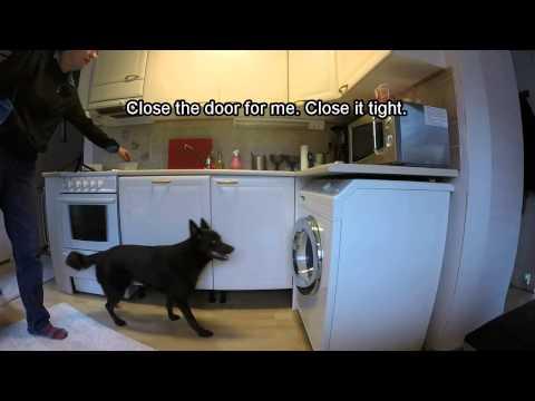 Australian kelpie doing assistance dog work
