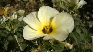 Chanana em Flor - Planta do Sertão thumbnail