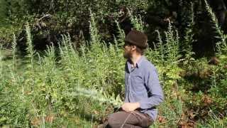 Mugwort harvest and use with Yarrow Willard