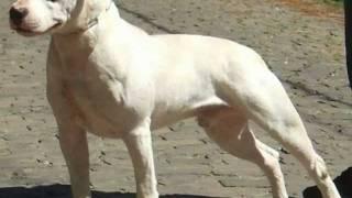 O Nosso Dogue Brasileiro.