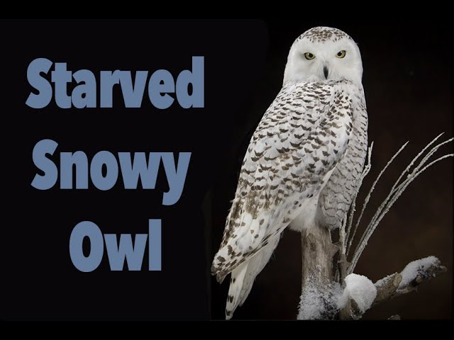 Snowy Owl Starved to death. Art of Taxidermy.