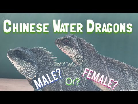 Chinese Water Dragons: Differentiating Males & Females.