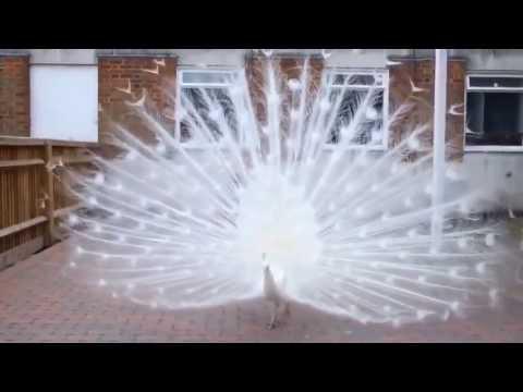 Công Trắng Khổng Tước - Peafowl dancing