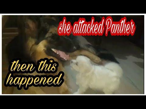 Maltese puppy attacked German shepherd