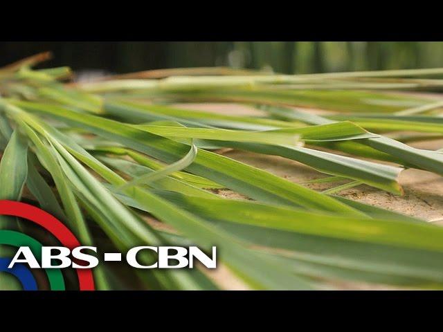 Salamat Dok: Health benefits of Lemongrass | Cure Mula sa Nature