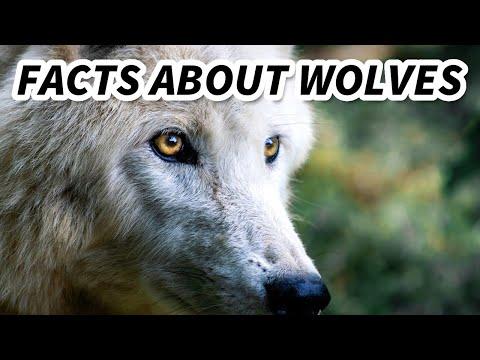 Grey Wolf | Animal Fact Files