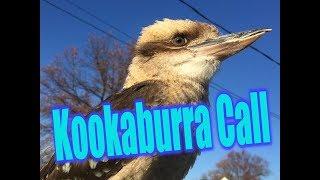 Super Loud Kookaburra Call