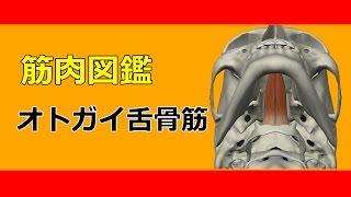 【筋肉動画図鑑】オトガイ舌骨筋 - 筋肉研究所