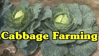 Cabbage Farming | Success Story Of A Farmer In Ranga Reddy District | Paadi Pantalu