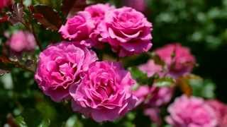 Return To Nature ~ Roses ~ 【 Short movie & Bgm 】
