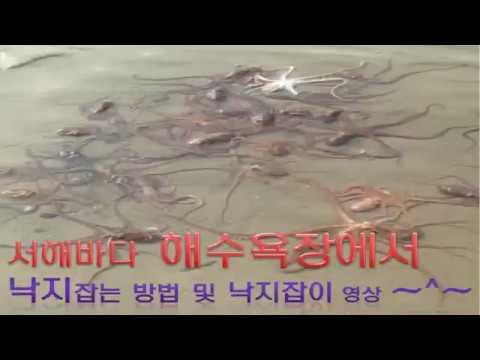 낙지잡는법,낙지잡이,낙지해루질(octopus)
