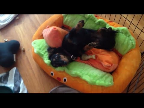 Watch on weiner dog in a bun
