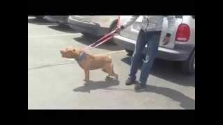 Cajun - Highley Leash Aggressive Pit Bull Part 1   Majors Academy Dog Training And Rehabilitation