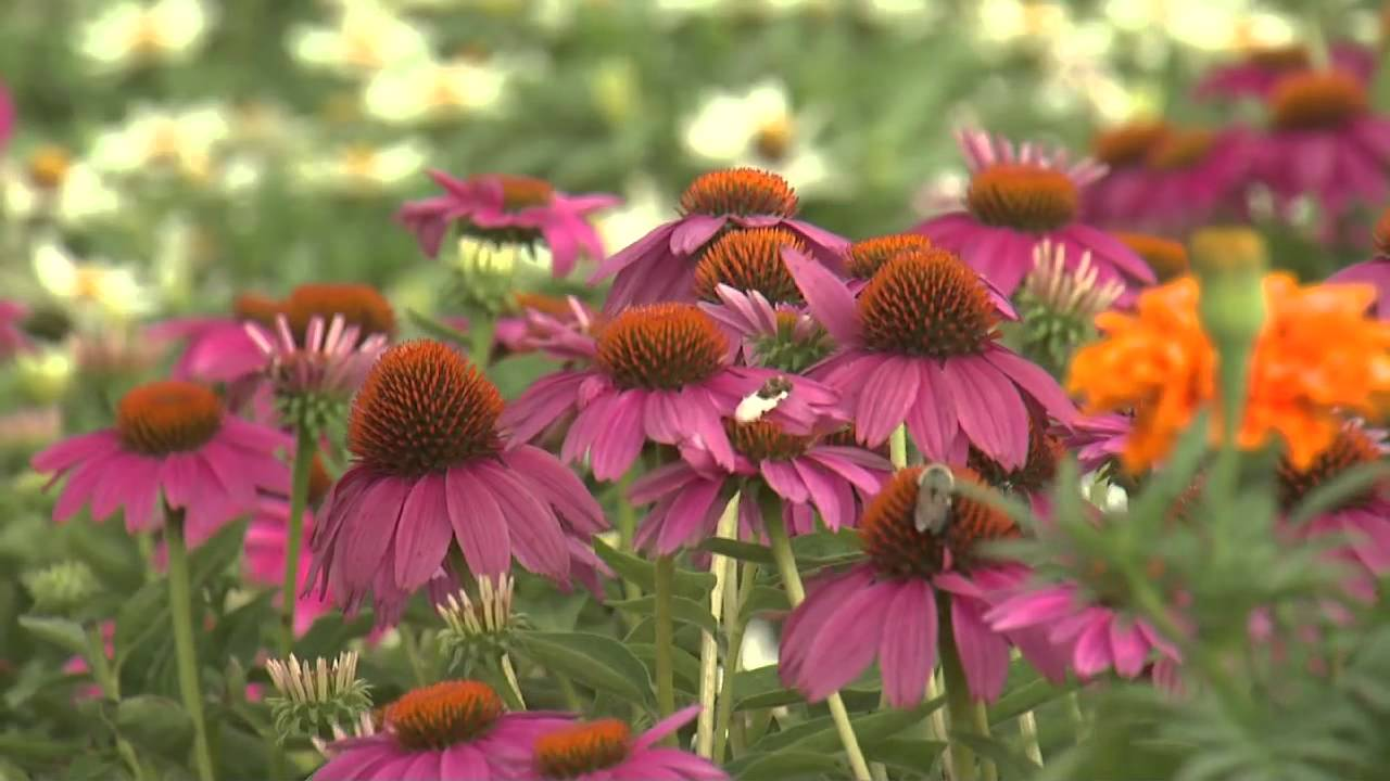 Purple Coneflowers Southern Gardening Tv Youtube