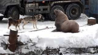 Сивуч нападает на собаку,