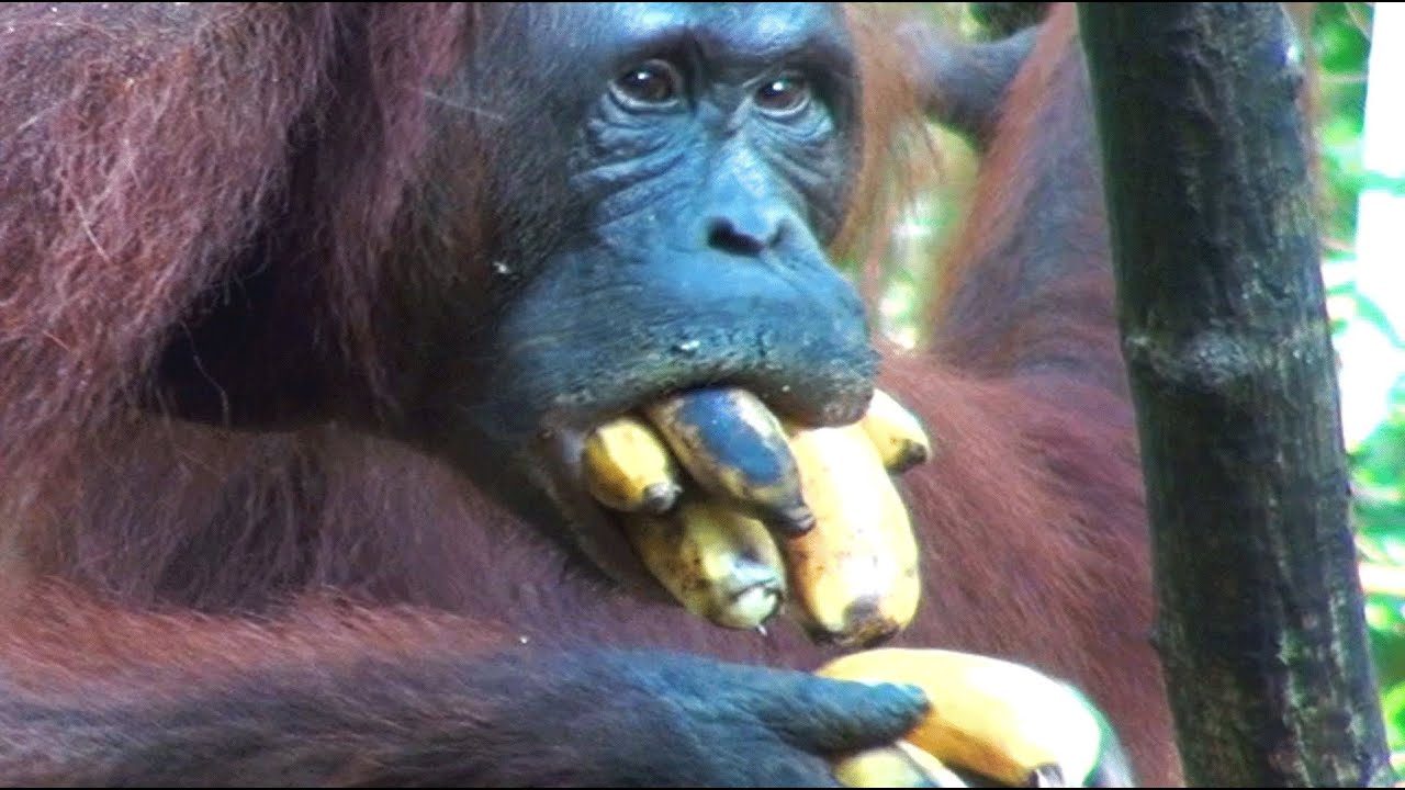Crazy Ape Stuff Ten Bananas In His Mouth - Youtube-6692