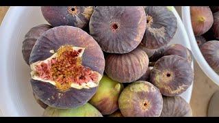نوع من شجر التين يثمر حوالي 9 شهور بالسنة ومتوفر منه شتلات ويعتبر اقتصادي ومشروع استثماري ممتاز