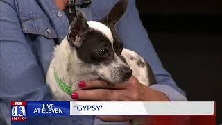 GYPSY - Fox 13 Best Friend from the Humane Society of Utah