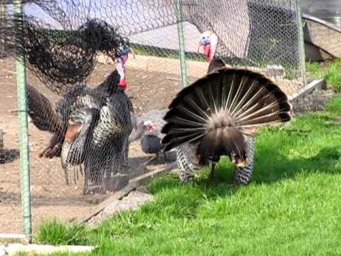 Wild Turkey Vs. Pet Turkey 4/16/10
