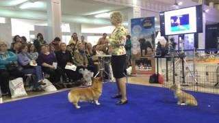 Хендлинг собак семинар Шиловой, дог профи 2016