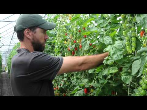 How to Prune Greenhouse Tomatoes