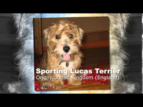 Sporting Lucas Terrier Dog Breed