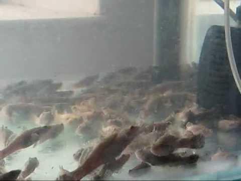 Pellet trained Marble Goby / Ikan Ketutu - www.aquacliq.com