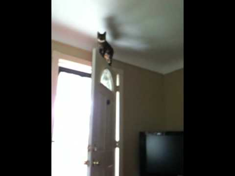 Bengal Cat Jumps on Top of Door