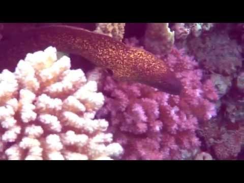 Dangerous fish in Red sea (rare video)