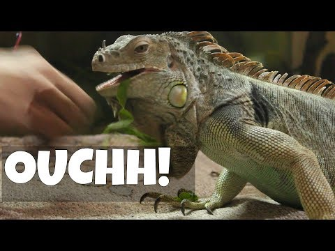 WATCH THIS BEFORE YOU GET IGUANA | Wildly Indian