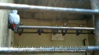 Sounds of The African Grey Parrot (Psittacus erithacus)