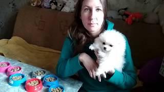 Жадные щенки шпица ) Как я кормлю щенков