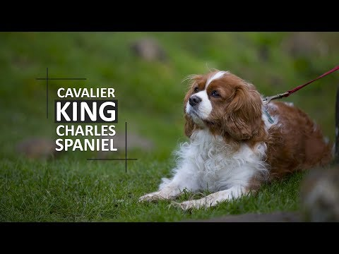 Cavalier King Charles Spaniel - Complete Facts For The Owners