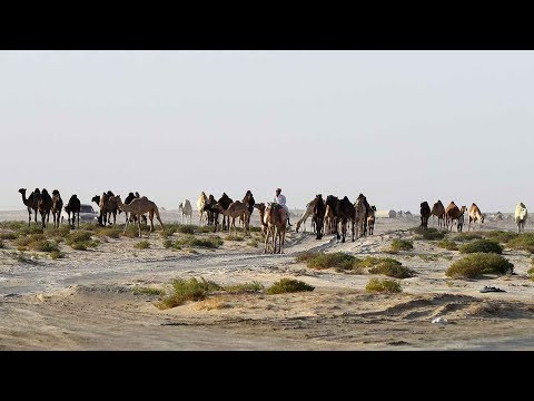 Thousands of camels, sheep forced back to Qatar amid diplomatic crisis
