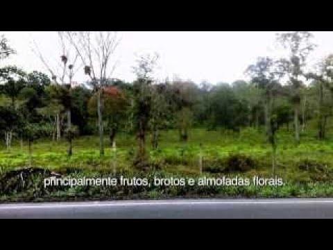 CABRUCA COCOA THE COCOA FROM BRAZILIAN ATLANTIC RAINFOREST