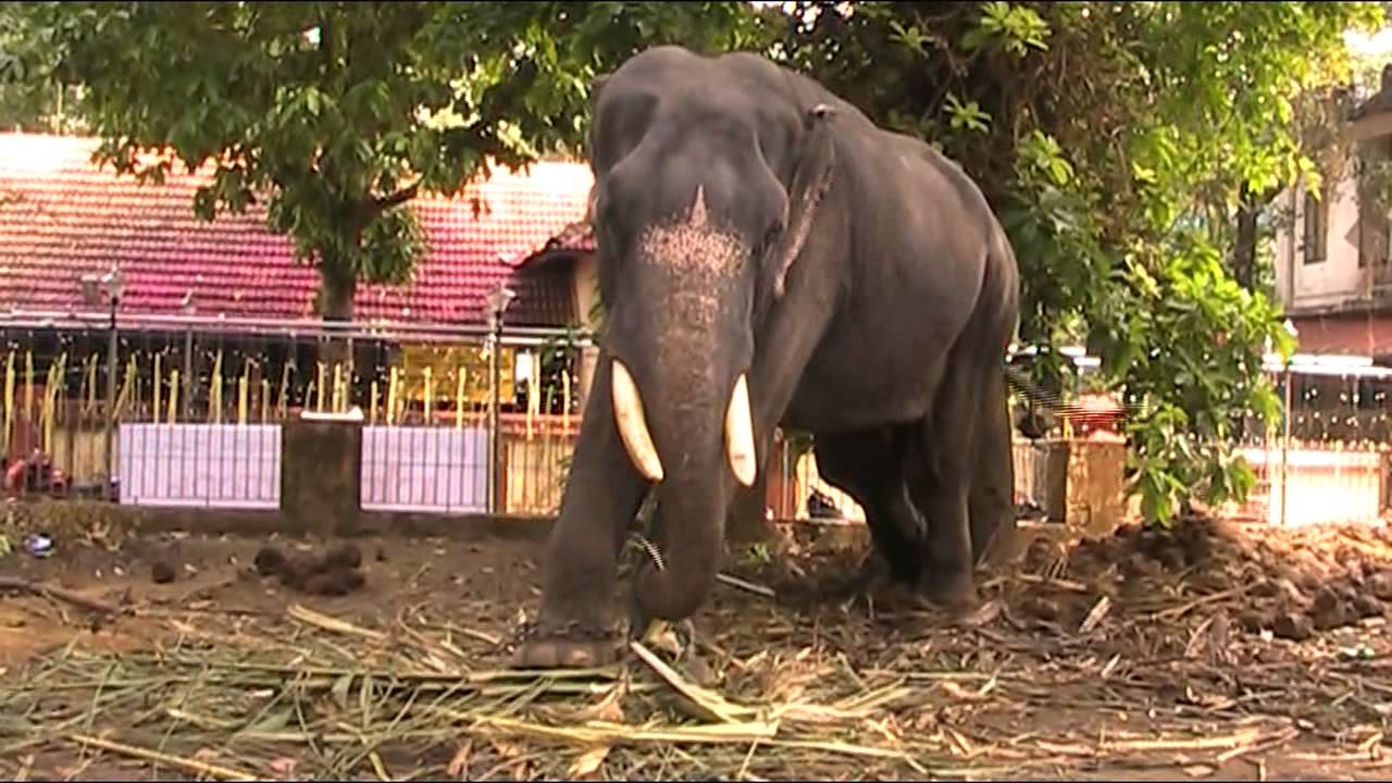 TWO ELEPHANTS ( Kerala Elephants) - YouTube