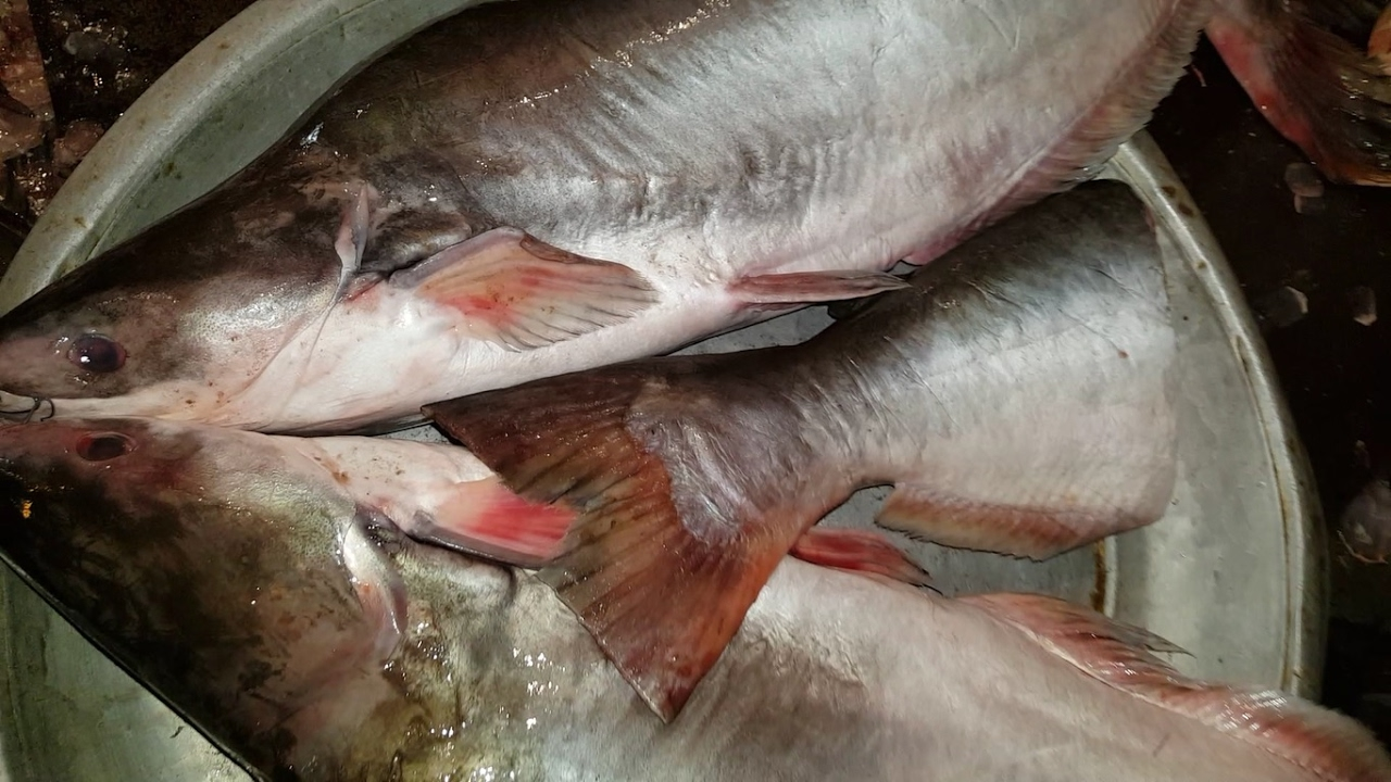 Mysterious Pangasius Fish 44