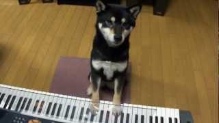天才ピアノ犬の柴犬dondonちゃん??? 不協和音連発だァ~の巻。 人間...