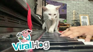 Man Serenades Cat with Sweet Song on Piano  || ViralHog