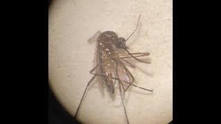 كيفية تعيين فخ البعوض (BG جات نوع) في المنزل