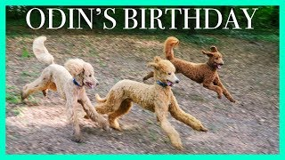 Standard Poodle Party!! Odin's 1st Birthday